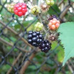 The Hunt for Wild Blackberries
